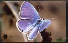 Telephone Card -Oman 5r phone card showing Mediterranean Pierrot Butterfly